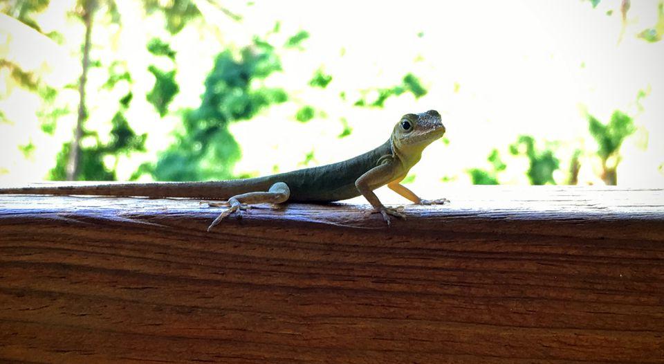 A lizard checked out the scene at a café in Jardin botanique de Deshaies.