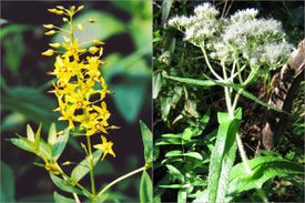 Swamp candles (left) and boneset were found in the Middlesex Fells.