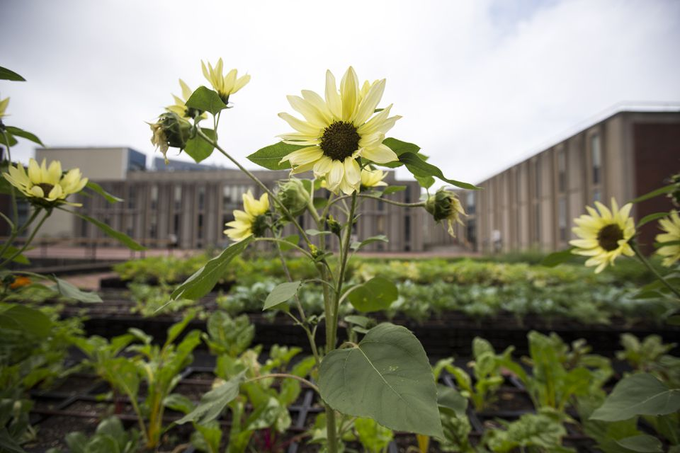 Flowers grow on rooftop garden on the campus of Brandeis University.