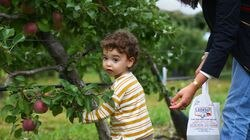 Dylan Stone, 2, of Newton, picks Macintosh apples with his mother, Amy Stone, at Belkin Family Lookout Farm in Natick.