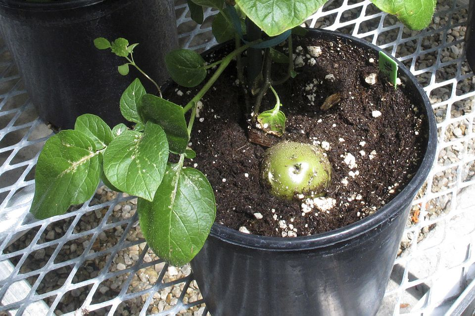 A genetically engineered potato poked through the soil of a planting pot in a lab in Idaho.
