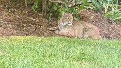 This bobcat was seen relaxing in a yard in Ayer.