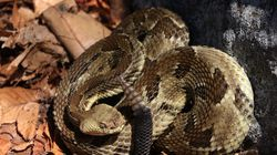 A wild adult timber rattlesnake observed during a snake population study in April 2021 in western Massachusetts.
