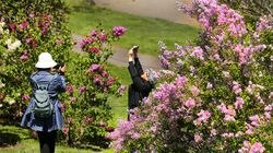 People photographed the lilacs at the Arnold Arboretum on Friday.