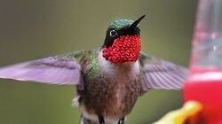 A ruby-throated hummingbird hovers near a backyard feeder at a Pembroke home.