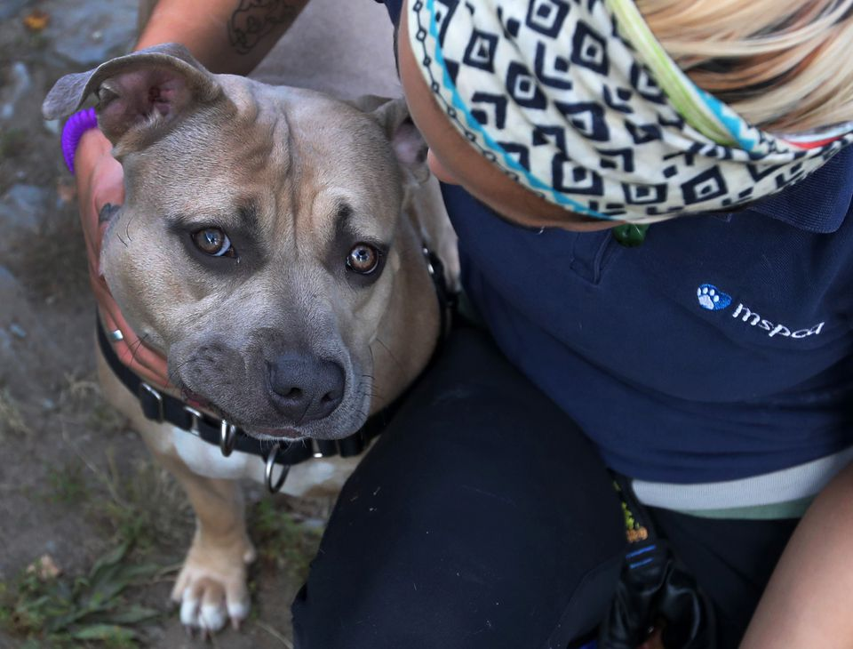Julia Doane, with the MSPCA in Methuen, worked with a 2-year-old female pit bull named Sammi.