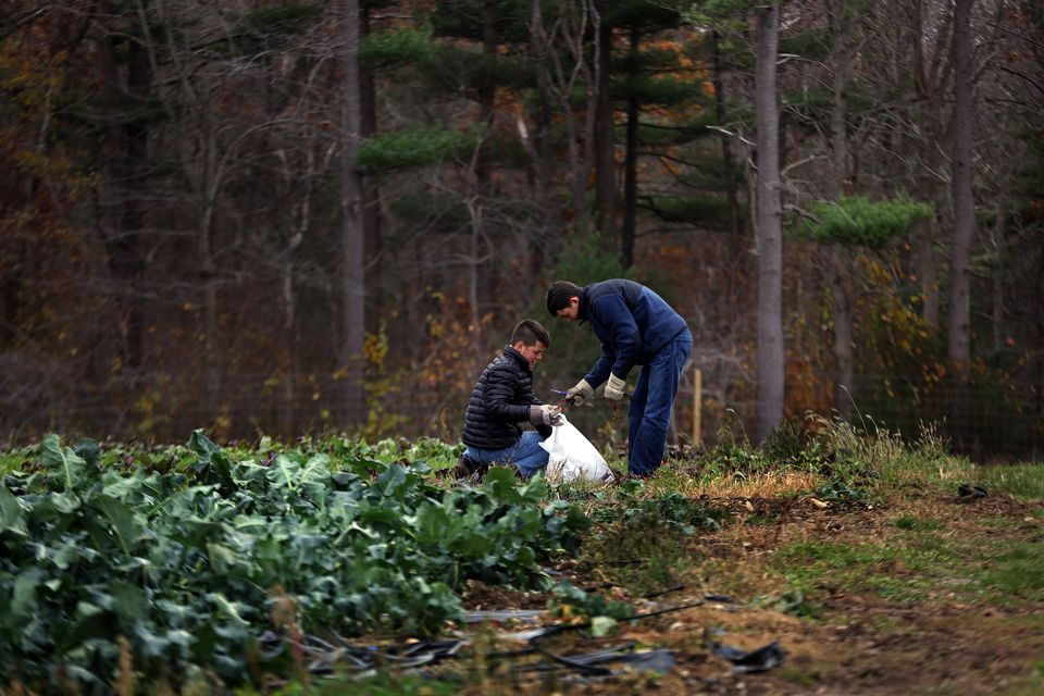 Benjamin Jankowski, 17, (left), and Lance Reynolds, 18, both seniors at Mansfield High School work gleaning kale at the Weir River Farm. Benjamin has been gleaning many times and is trying to set up a gleaning program at his high school.