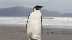 An Emperor penguin stood on Peka Peka Beach of the Kapiti Coast in New Zealand. With climate change threatening the sea ice habitat of Emperor penguins, the US Fish and Wildlife Service on Tuesday announced a proposal to list the species as threatened under the Endangered Species Act.