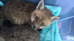 Two baby foxes were rescued from a storm drain on Baker Street in Foxborough on April 5.