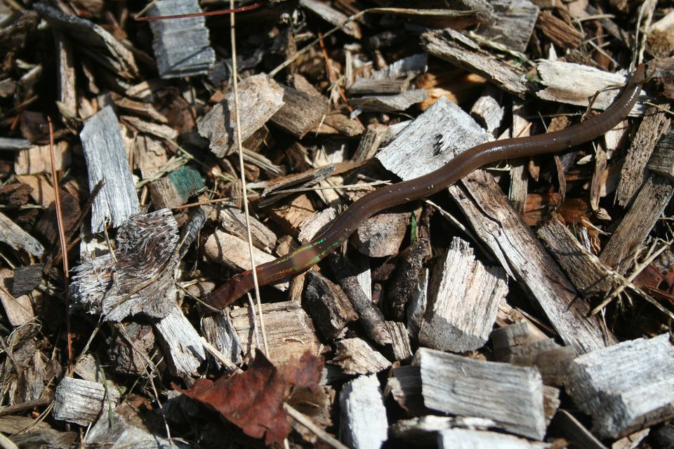 An adult crazy snake worm slithered in mulch.