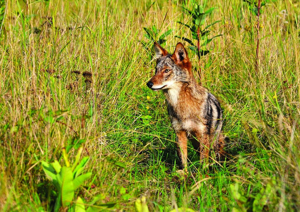 A younger coyote, an increasingly familiar sight in the state.MASSWILDLIFE/BILL BYRNE