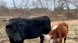 For one of the entries in the album, Nancy Shohet West took a photo of a young bull (right) that joined the herd at her parents' Carlisle farm.