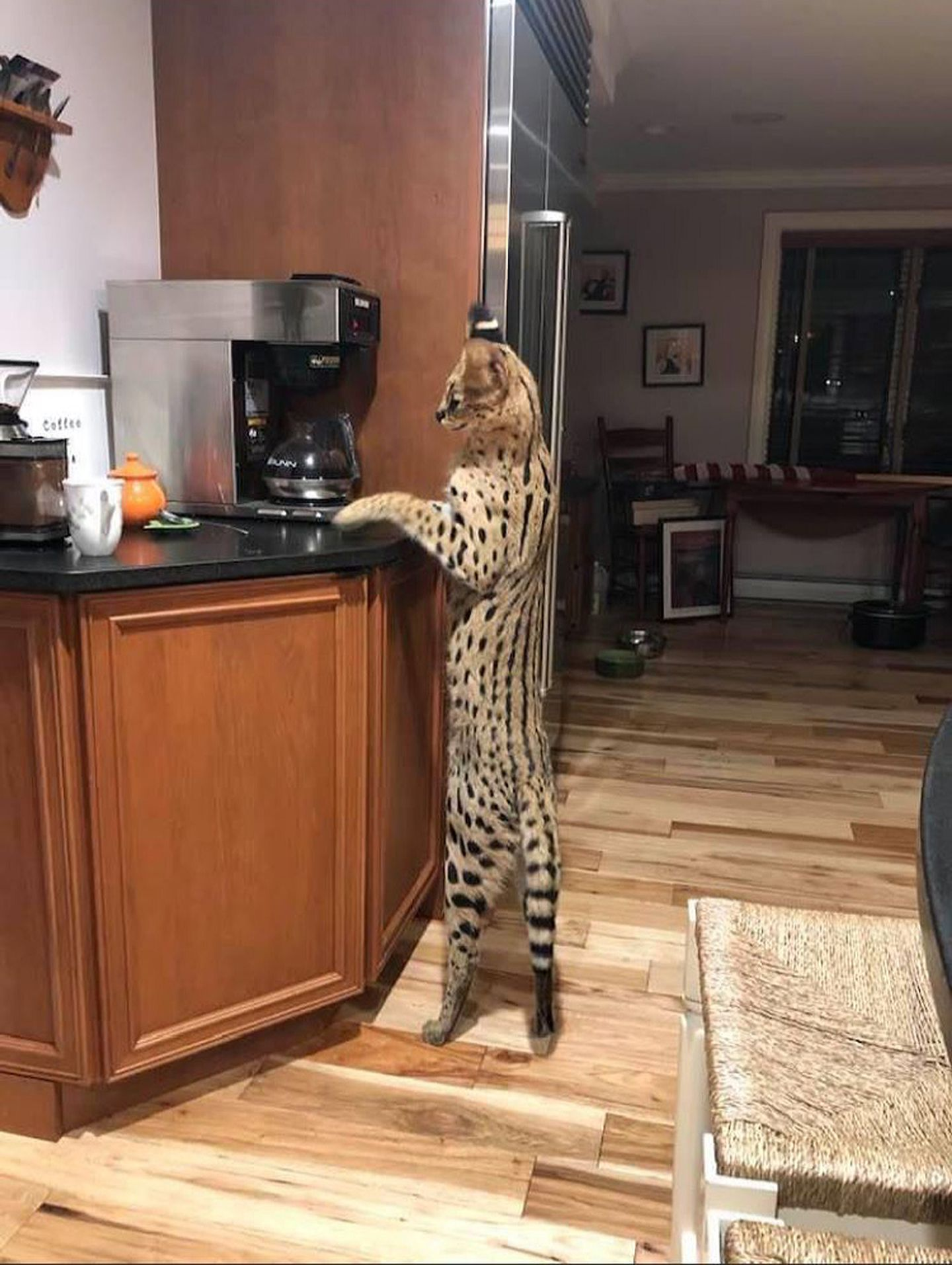 Exotic serval cat that escaped from N.H. home is back with family - The  Boston Globe