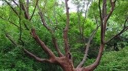 Paperbark maple (acer griseum) at the Arnold Arboretum.