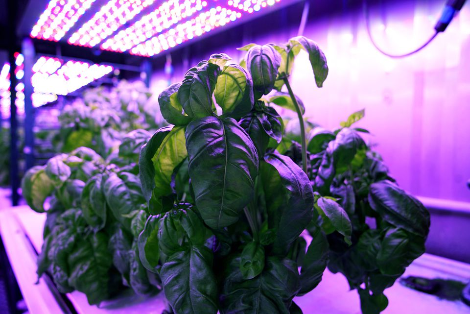 Researchers in MIT's Open Agriculture Initiative grew basil under controlled environmental conditions.