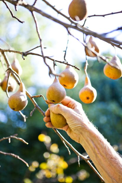 3b2c70808d Frank Bissett grows Bosc pears at his home in Northborough.