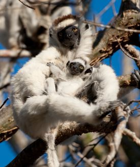 """A mother and baby Verreaux's sifaka (a type of lemur) in the fun-loving documentary """"Island of Lemurs: Madagascar."""""""
