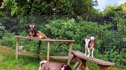 The Sesuit Harbor Hotel has goats.