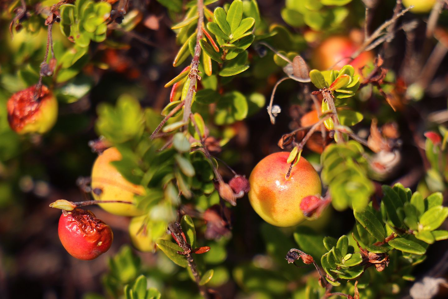 Massachusetts is the nation's oldest cranberry-growing region.