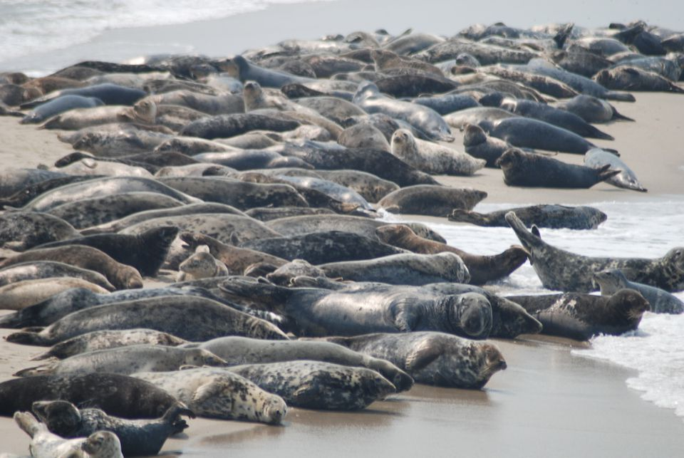 A small portion of a group of up to 3,000 gray seals seen off Nantucket.