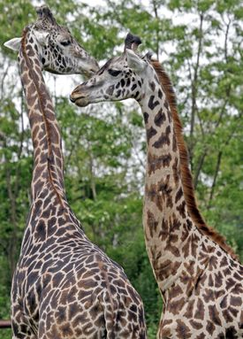 Beau (left) and his mate, Jana, are the only giraffes at the Franklin Park Zoo.