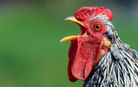 Researchers are documenting surprisingly complex behaviors in all sorts of creatures, from chickens to fish.