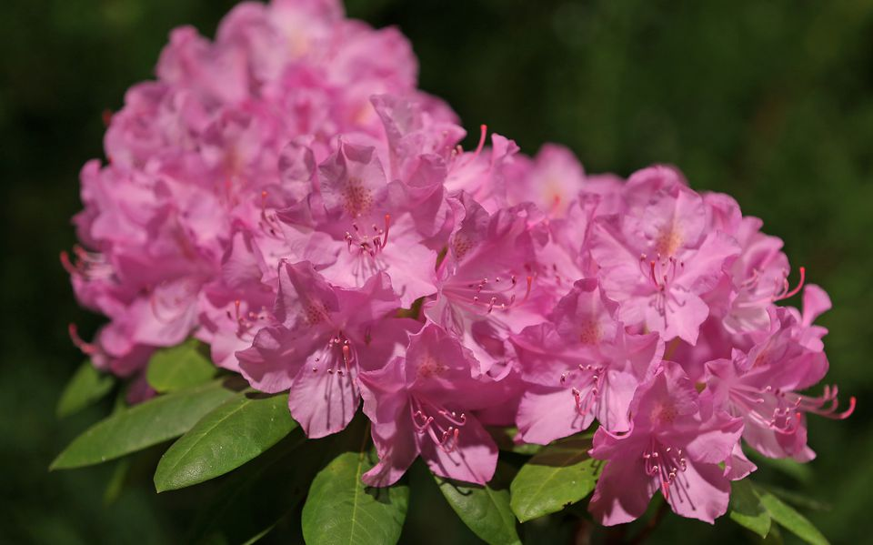 "The rhododendron ""English Roseum."""