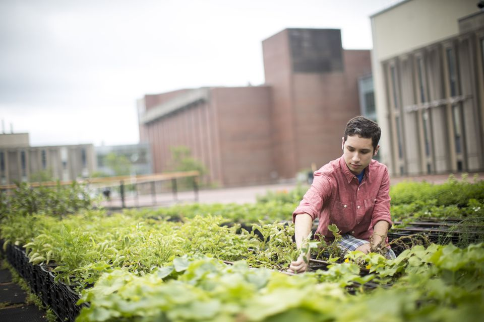 Jay Feinstein pulled weeds from produce and flowers growing on the Brandeis University campus. A group of undergraduates started the rooftop farm with help from a $30,000 grant.
