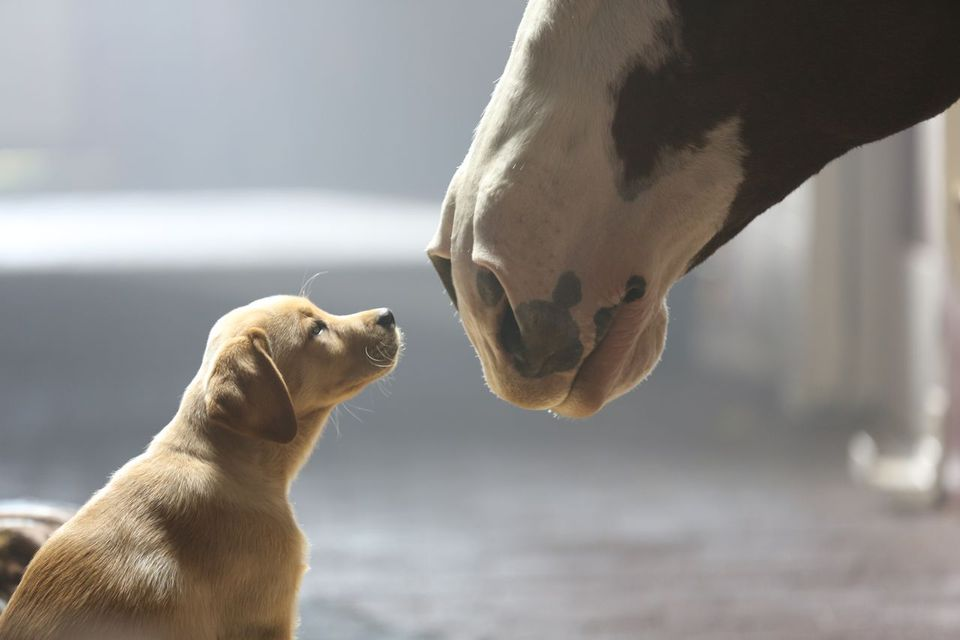 This Budweiser ad featuring a Clydesdale and a yellow Lab puppy won a popularity poll taken by USA Today.