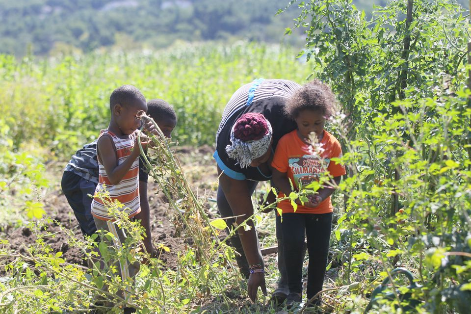 Henrietta Nyaigoti gets help from daughter Avah Delcaruz and nephews Isack Onchiri and Barack Kaffa as they harvest chinsaga.
