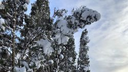 This undated photo shows snow-laden arborvitae trees in New Paltz, NY. With leafy branches in winter, evergreens are especially good at catching snow, which can be bent, even broken by a heavy snow load. (Lee Reich via AP)