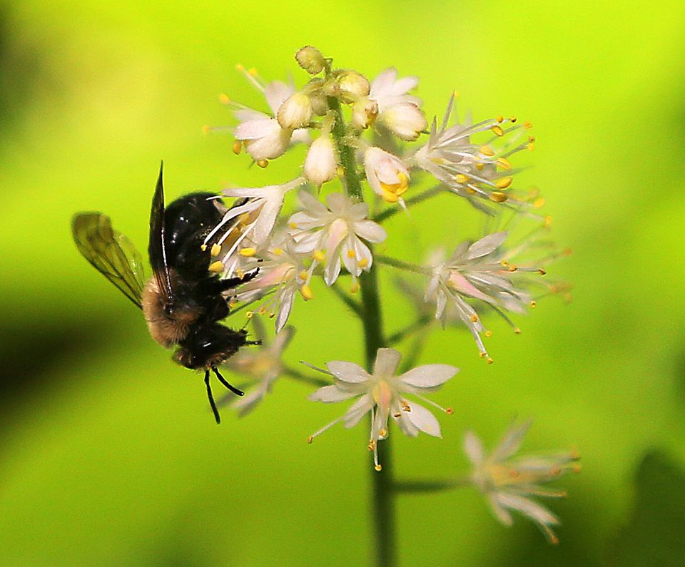 A bee alights on a Tiarella cordifolia in the Wildlings garden at South Shore Natural Science Center.