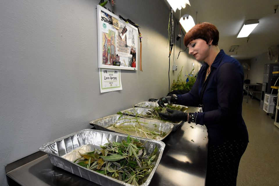 Lara Herzog trimmed marijuana plants to separate the buds from leaves and stems iat the Medicine Man facility in Denver.