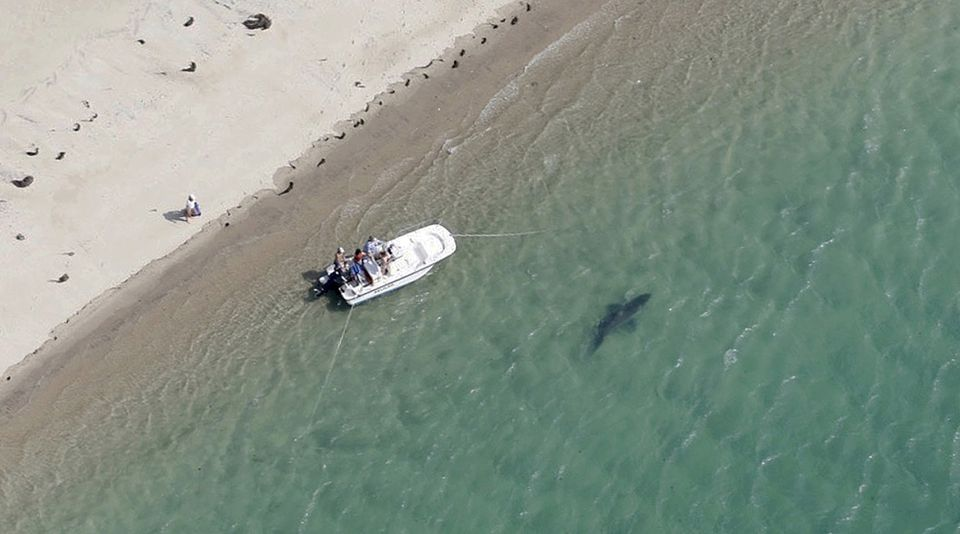 A great white shark swam close to the Cape Cod shore in July.