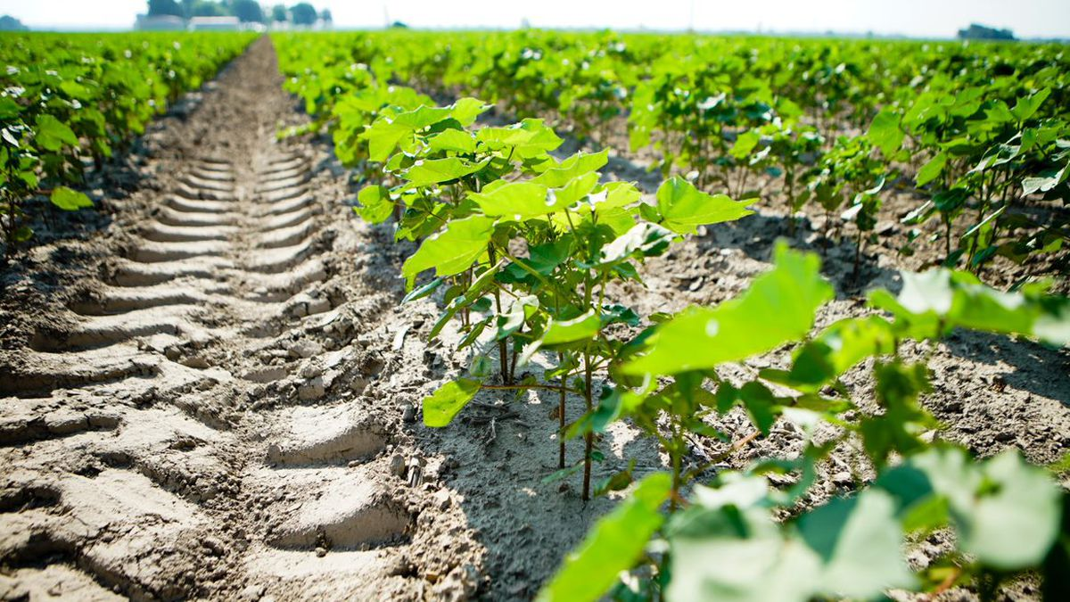 Cotton plants designed to tolerate drought in a field in Arkansas.