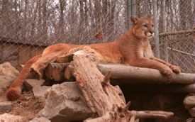 A mountain lion visited the Quabbin Reservoir area in the late 1990s.