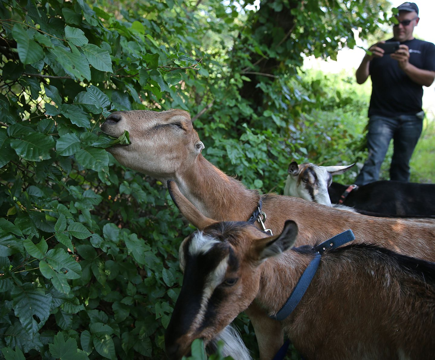 can goats eat poison ivy