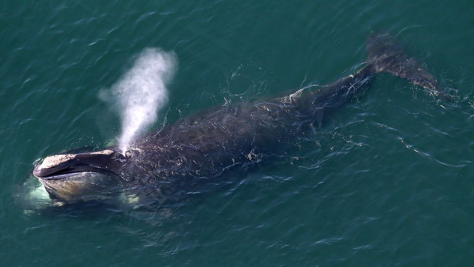 There were a record 17 right whale deaths and no recorded births last year, officials said.