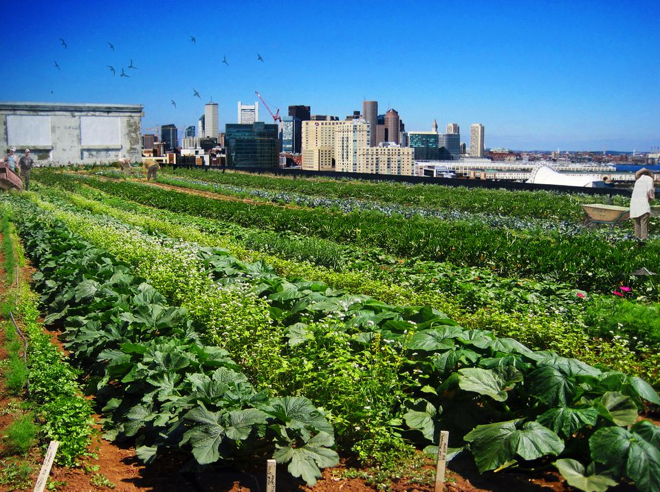 Artist's rendering of the 55,000-square-foot rooftop farm, including 40,000 square feet of planted produce, for the Boston Design Center.