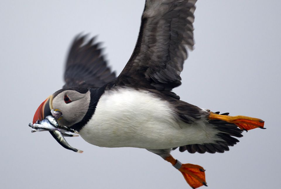The Audubon Society, a stalwart environmental group that backs causes like endangered puffins, is also a new member of a controversial carbon capture coalition.
