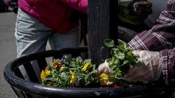 A volunteer places flowers in a planter in Newton Centre April 7.
