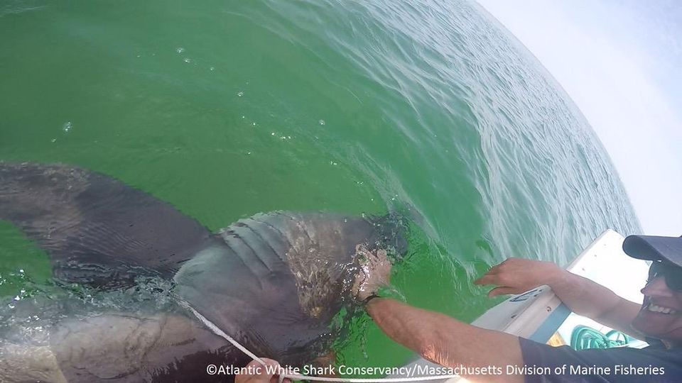 Officials resuscitated a great white shark that washed up on South Beach in Chatham.