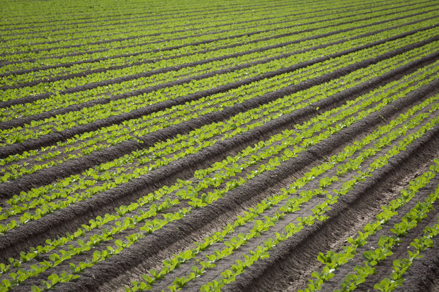 Romaine lettuce grew near Yuma, Ariz., one of the nation's leading producers of leafy green vegetables. At least one recent E. coli outbreak has been traced to farms in the region.
