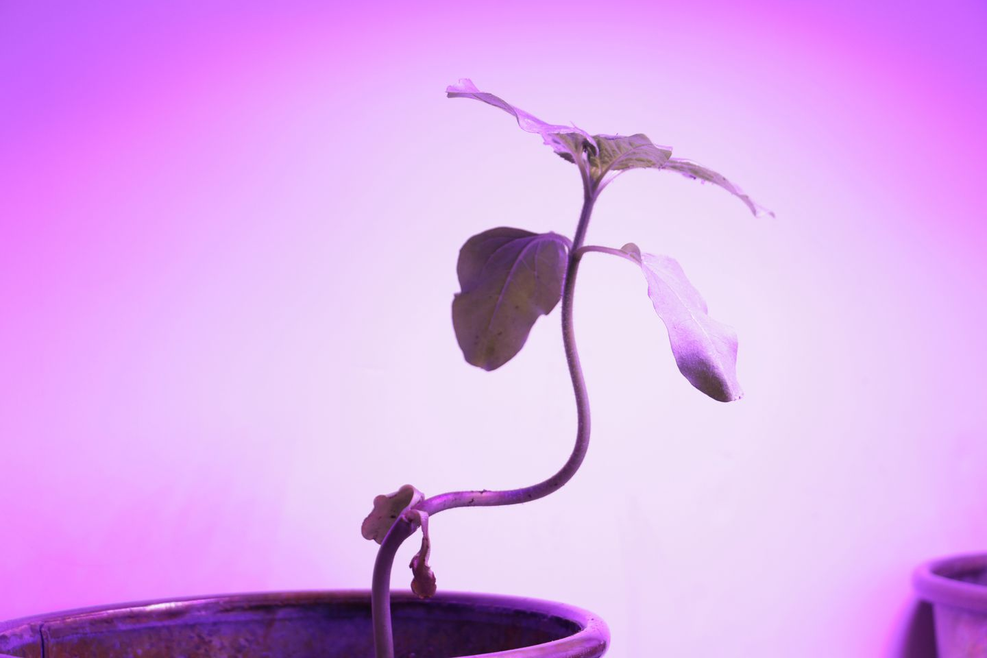 In an experiment at MIT called Automated Arbortecture, researchers used computer-controlled lights to control the shape a plant took as it grew.
