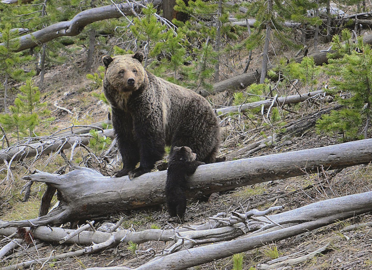 US officials will review whether grizzly bears have enough protections across the Lower 48 states