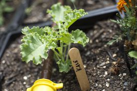 Kale and other produce grow in milk crates on the student-run rooftop garden on the campus of Brandeis University.