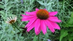 The long-flowering native purple coneflower emerges in June. Other coneflowers await the curious gardener. MUST CREDIT: Washington Post photo by Adrian Higgins