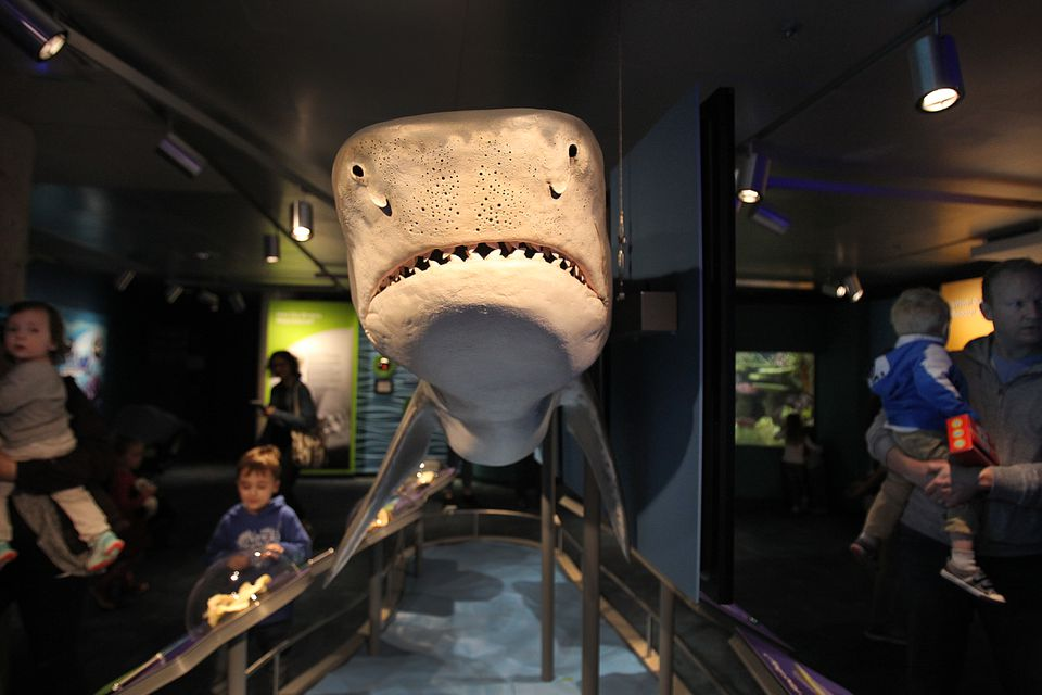 A giant replica of a shark in the new exhibit at the New England Aquarium.