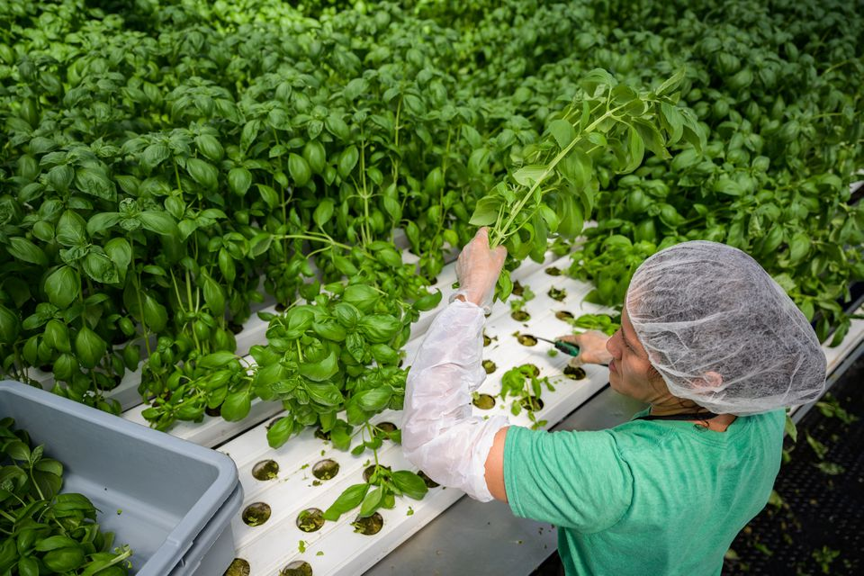 A worker harvests basil inside a Gotham Greens facility in New York City.
