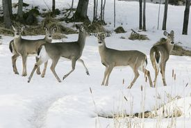 """An 18-fold rise in the deer population has """"set the table"""" for predators."""